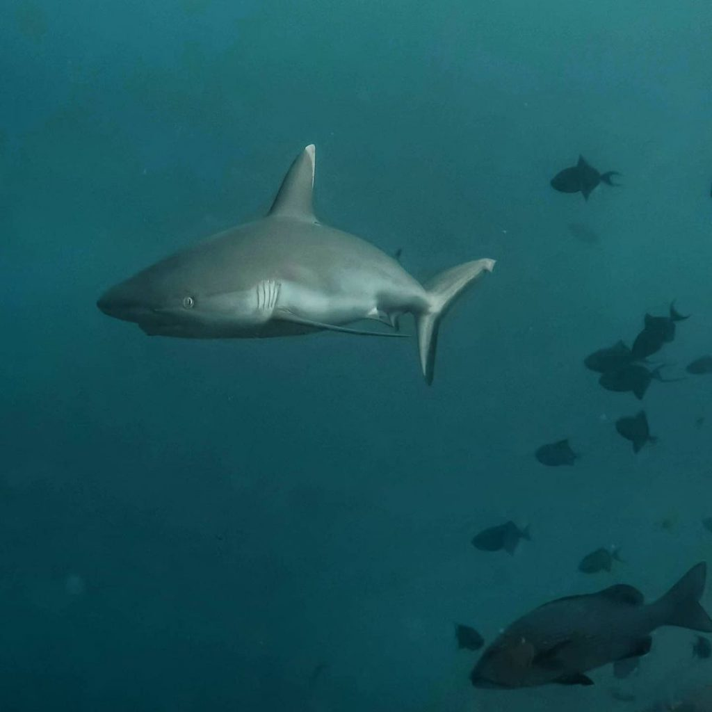Gili Mimpang: Best for Rarer Sharks