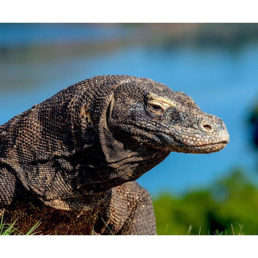 Fact of Lizard King on Top Komodo Tours